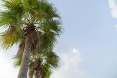 Sucrez le palmier vert et beau en nature de jardin Images stock