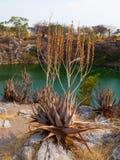 Suculent plants at Otjikoto lake Stock Photography
