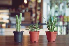 Suculento decorativo, cactus, planta de tiesto en la tabla de madera imagen de archivo