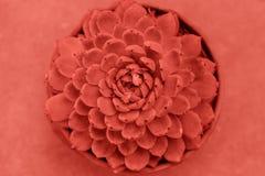 Suculento entonado en el color de moda del a?o 2019, visi?n superior Planta suculenta de Echeveria, cierre para arriba imagenes de archivo