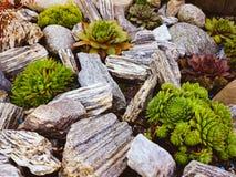 Suculents garden. Outdoor suculents. Gardening. Colourfull. Garden stock image