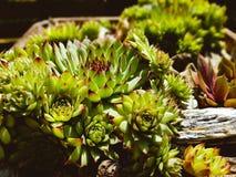 Suculents trädgård Royaltyfri Bild