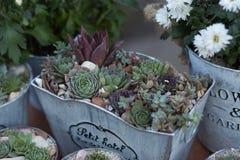 Sucullents in vasi Décor domestico crescente Decorazione botanica verde fotografia stock