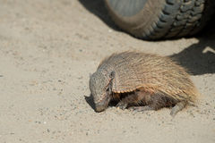 Sud America armadillo close up portrait Royalty Free Stock Images