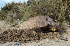Sud America armadillo close up portrait. Armadillo close up portrait in patagonia while eating an apple Royalty Free Stock Images