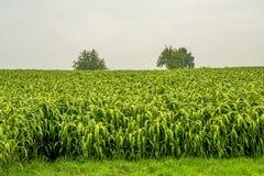 Sudan gräs Royaltyfri Foto