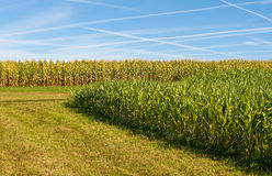 Sudan grass and corn Stock Photo