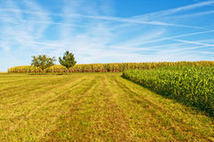 Sudan grass and corn Stock Image