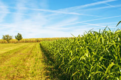 Sudan grass and corn Royalty Free Stock Photos
