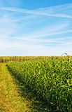 Sudan grass and corn stock images
