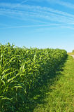 Sudan grass, Sorghum sudanense energy plant Stock Photography