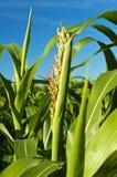 Sudan grass, Sorghum sudanense energy plant. For gas Royalty Free Stock Photos