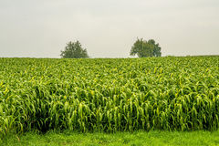 Sudan grass Royalty Free Stock Photo