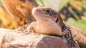 Sudan lizard. Sitting on a rock royalty free stock image