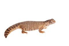 Sudan Mastigure, Uromastyx dispar na bielu Zdjęcie Stock