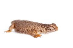 The Sudan Mastigure, Uromastyx dispar on white Stock Images