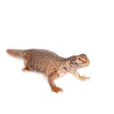 The Sudan Mastigure, Uromastyx dispar on white Royalty Free Stock Images