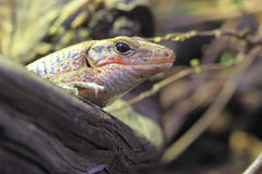 Sudan plated lizard. The detail of sudan plated lizard Stock Image