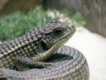 Sudan plated lizard. On display Stock Photos