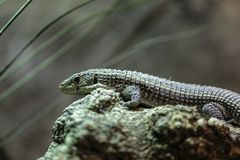 Great plated lizard. Sudan plated lizard- Gerrhosaurus major-  also known as the Western plated lizard, great plated lizard or rough-scaled plated Lizard Royalty Free Stock Image