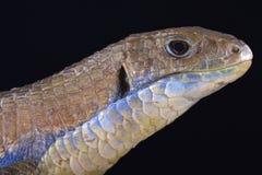 Sudan plated lizard (Gerrhosaurus major) Stock Image