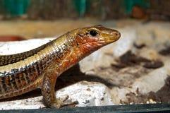 Sudan plated lizard portrait Stock Photos