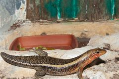 Sudan Plated Lizard in terrarium Stock Images