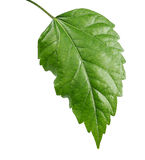 Sudanese rose leaf. On a white background Royalty Free Stock Images