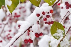 Autumn leaves and berries covered with snow Royalty Free Stock Photo