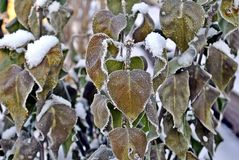 Suddenly the frozen leaves of the lilac Bush. The leaves on the lilac Bush not fallen down, covered with snow and ice, due to the sudden cold weather royalty free stock image