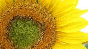 Bee on sunflower. Suddenly I saw that a bee was sitting on a sunflower Royalty Free Stock Photos