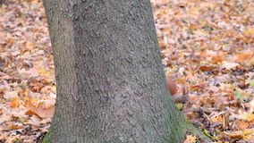 Suddenly a squirrel came out from behind the tree and ran away. Sciurus vulgaris stock video footage