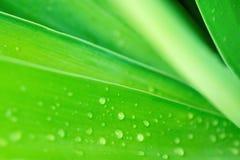 Suddig abstrakt botanisk naturbakgrund Elegant stor grön palmblad med regndroppar Mall för bakgrundstapetaffisch Arkivfoton