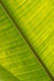 Suddig bakgrund av det gröna bananbladet Arkivfoto