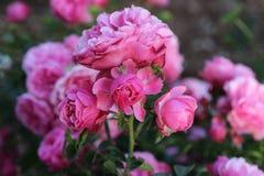 Suddig bakgrund för rosa färgros Fotografering för Bildbyråer