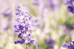 Suddig bakgrund för Sylvia blommafält Arkivbilder