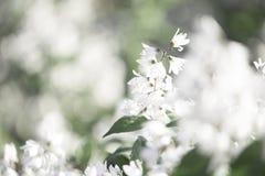 Suddig bakgrund för vita blommor Blom för vita blommor i sommar Royaltyfria Bilder