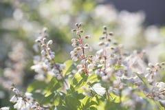 Suddig bakgrund för vita blommor Blom för vita blommor i sommar Arkivbilder