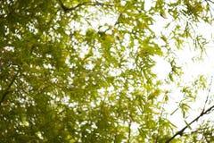 Suddig bild av gröna bambusidor Fotografering för Bildbyråer