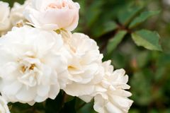 Suddig blom- bakgrund Bush av vita rosor på grön suddig bakgrund Royaltyfri Fotografi