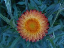 suddig blomma royaltyfri foto