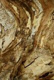 Suddig brun naturbakgrund H?rlig tr?textur f?r poplartextur f?r sk?ll gammal tree arkivbilder