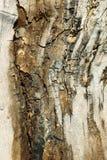 Suddig brun naturbakgrund H?rlig tr?textur f?r poplartextur f?r sk?ll gammal tree royaltyfri bild