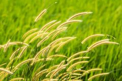 Suddig gräsblomma Royaltyfri Bild