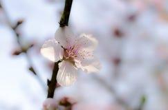 Suddiga Cherry Tree blommar, Cherry Blossom Festival, Georgia USA Royaltyfri Fotografi