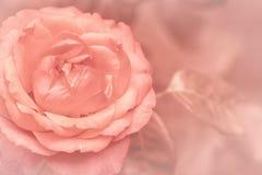 Suddiga delikata ranunculuskronblad, unfocused kort för bakgrund för blomma för ros för abstrakt begrepp pastellfärgad och mjuk b Arkivfoto