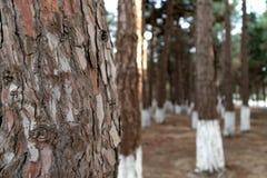 suddighet bakgrund Närbilden av sörjer trädet royaltyfri bild