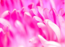 suddighet pink Arkivfoto
