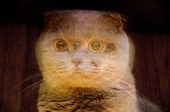 Suddigt fruktansvärt tystar ned av en brittisk katt med stora gula ögon skrämt djur för spöke arkivbild