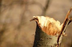 Sudicio ramo del ceppo Immagini Stock